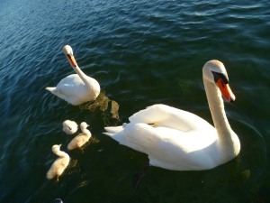 Photo by Debra Moffitt swan family good 205