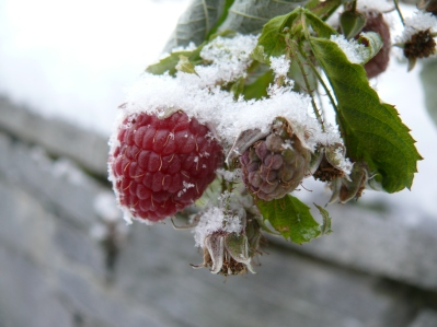 Nick's Snow Raspberry