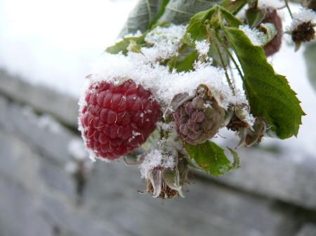 Nick's Snow Raspberry