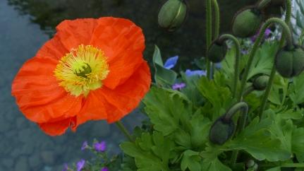 1 orange poppy close up
